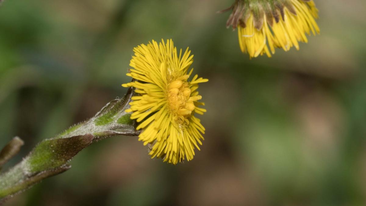 syrop zpodbiału zielarstwo ziołolecznictwo naturalna medycyna