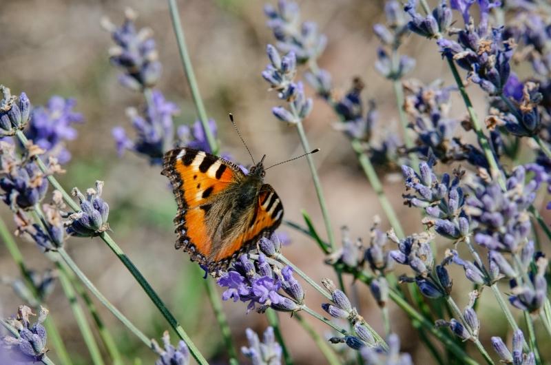 magda bębenek laswnas.com dworzysk pole lawendy podlasie motyl wlawendzie
