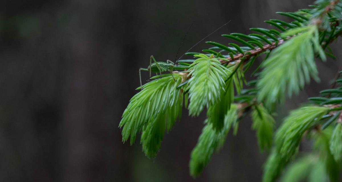 dżem świerkowy ekologiczne życie smakowite drzewa